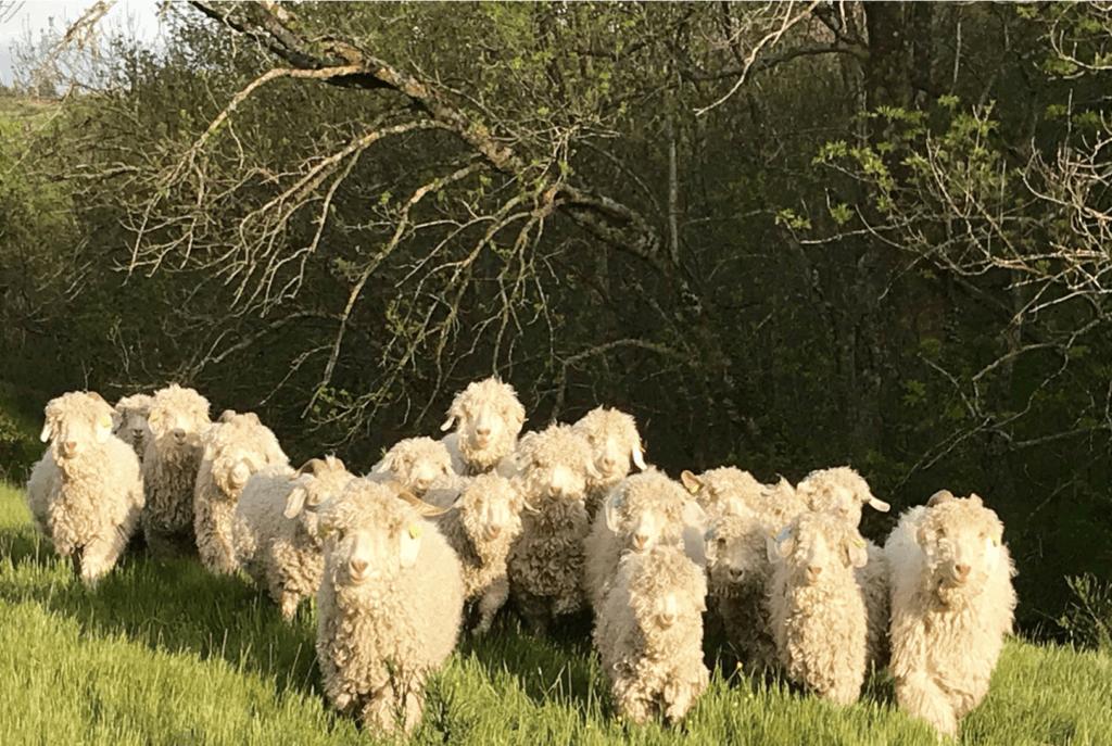 Parainer un chèvre angora, c'est possible