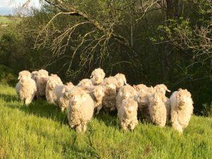 Parrainer une chèvre angora